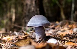 接近奥斯陆,与小黄色小点的llittle灰色蘑菇的挪威围拢了叶子 免版税库存照片