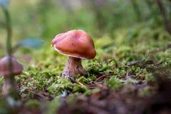 接近奥斯陆,关闭的挪威在绿色青苔的小的棕色蘑菇 库存照片