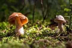 接近奥斯陆,小的棕色蘑菇的挪威在与绿色青苔的阳光下 库存照片