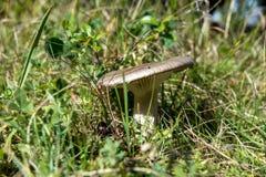 接近奥斯陆,绿草围拢的小的灰色棕色蘑菇的挪威 免版税库存照片