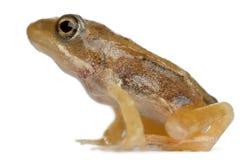 接近成人公用青蛙蛙属temporaria 库存照片