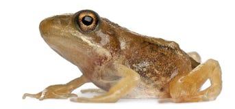 接近成人公用青蛙蛙属temporaria 免版税库存图片
