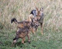 接近战斗的她的崽的母亲支持黑的狐狼的特写镜头frontview 免版税库存照片