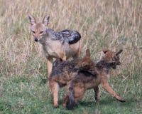 接近战斗的她的崽的母亲支持黑的狐狼的特写镜头frontview 免版税库存图片