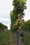 接近收获的葡萄树在小山 免版税库存照片