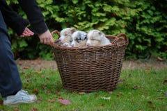 接近柳条筐的两只手与澳大利亚牧羊人小狗 免版税库存照片