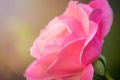 接近桃红色玫瑰色 免版税库存照片