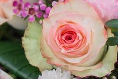 接近桃红色玫瑰色 免版税图库摄影