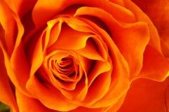 接近橙色玫瑰色  免版税图库摄影