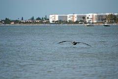 接近海洋的鹈鹕飞行 库存照片