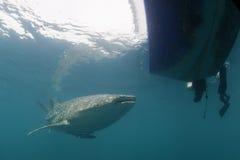 接近潜水者水中的鲸鲨在巴布亚 免版税库存照片