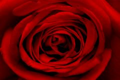 接近玫瑰色  库存照片
