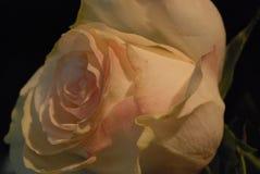 接近玫瑰色 免版税库存照片