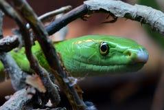 接近的东部绿眼镜蛇 免版税库存照片