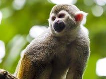接近的公用猴子灰鼠 免版税库存图片