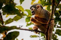 接近的公用猴子灰鼠 免版税库存照片