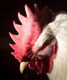接近的公鸡题头纵向 免版税库存图片