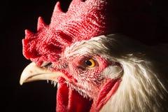 接近的公鸡题头纵向 库存照片