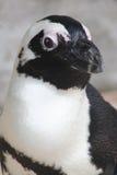 接近的公驴企鹅 库存照片