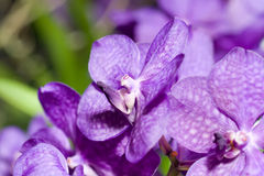 接近的兰花淡紫色兰花 库存图片