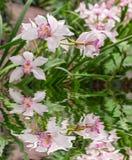 接近的兰花粉红色 在水反映的花花束  免版税库存照片