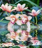 接近的兰花粉红色 在水反映的花花束  免版税图库摄影