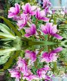 接近的兰花粉红色 在水反映的花花束  库存照片