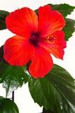 接近的冬葵玫瑰色  图库摄影