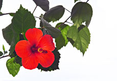 接近的冬葵玫瑰色  免版税库存图片