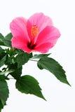 接近的冬葵玫瑰色  免版税库存照片