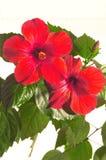接近的冬葵玫瑰色  库存照片