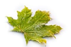 接近的冻结的事假槭树  免版税图库摄影