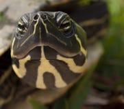接近的前顶头滑子乌龟 免版税库存照片