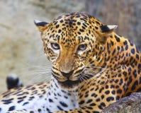 接近的危险和豹子的恼怒的面孔在狂放的 库存图片