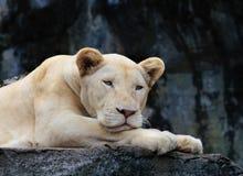 接近的危险和豹子的恼怒的面孔在狂放的 免版税库存照片