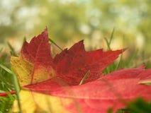 接近的叶子槭树 库存图片