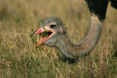 接近的吃驼鸟  免版税库存照片
