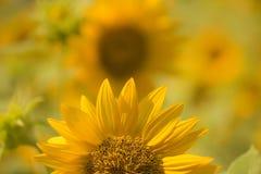 接近的向日葵 明亮的向日葵黄色 库存图片