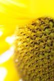 接近的向日葵 免版税库存照片