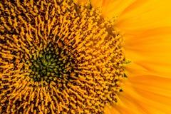接近的向日葵 库存图片