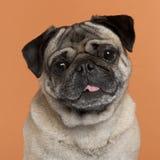 接近的哈巴狗 免版税图库摄影