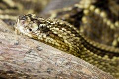 接近的响尾蛇 免版税库存图片