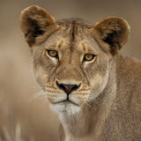 接近的国家公园纵向serengeti 库存照片