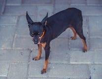 接近的图象的美丽toyterrier 滑稽的玩具狗狗 免版税库存图片