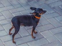 接近的图象的美丽toyterrier 滑稽的玩具狗狗 图库摄影