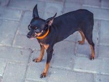 接近的图象的美丽toyterrier 滑稽的玩具狗狗 库存图片