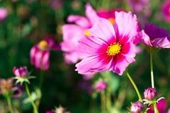 接近的在最前面的边开花的波斯菊桃红色花 免版税库存图片