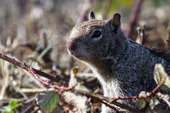 接近的地松鼠 免版税图库摄影