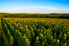 接近的域照片向日葵上升黄色 免版税图库摄影