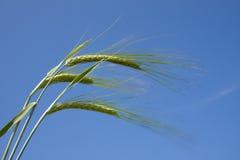 接近的域绿色燕麦 免版税库存照片